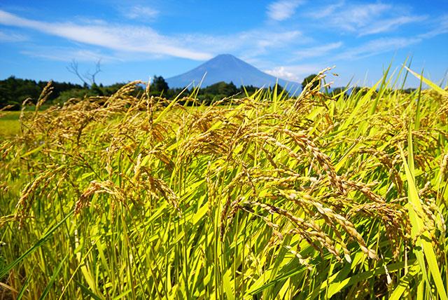 稲と富士山